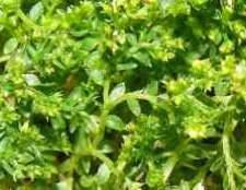 Комнатное растение селагинелла фото