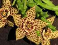 Комнатные растения стапелия