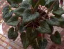 Листья цикламена вытягиваются