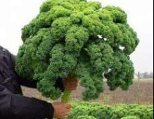Листовая капуста - сорта и выращивание