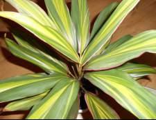 Ложная пальма — кордилина