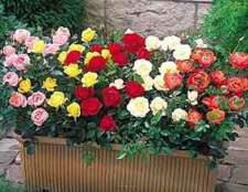 Миниатюрные розы (miniature)