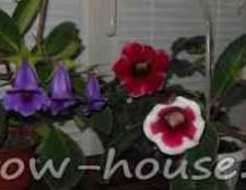 Можно ли дома держать глоксинию