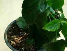 На листьях гибискуса белые пятна в