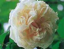 Нуазетовые розы (noisette)