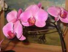 Опрыскивание орхидеи фаленопсисы