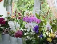 Орхидеи фаленопсис купить киев