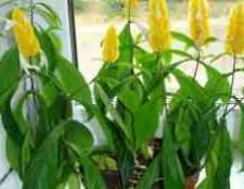 Пахистахис цветение кактусов