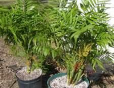 Пальма хамедорея растёт очень медленно