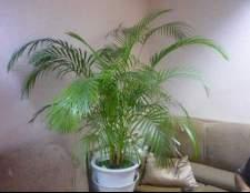 Пальма ховея уход в домашних условиях