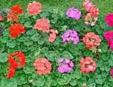 Пеларгония королевская фото купить семена