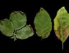 Пятна на листьях гортензии комнатной