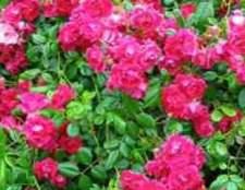 Плетистые розы (rambler)