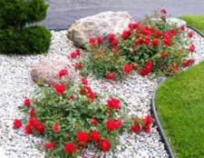 Почвопокровные розы (ground cover)