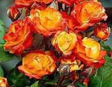 Полиантовые розы (polyantha)