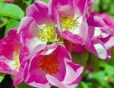 Полуплетистые розы (schrub)