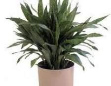 Представители неприхотливых комнатных растений