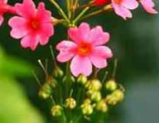 Примула фото цветов рассада