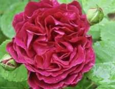 Ремонтантные розы (hybrid perpetual)
