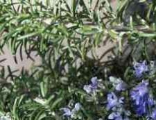 Розмарин цветение конопли