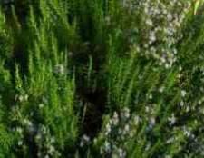 Розмарин как вырастить дома из семян