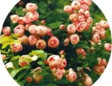 Розы в дизайне сада - идеи и фото
