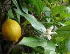 Техника выращивания лимона в домашних условиях