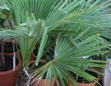 У веерной пальмы красивые рассечённые листья