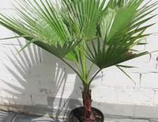 Вашингтония пальма