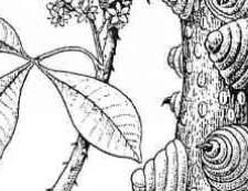 Вид цитрусовых растений семейства рутовые
