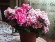 Виды азалии комнатной фото цветов