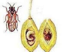 Вредители плодовых деревьев - вишни и сливы