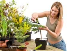 Выращивание и уход за хвойными растениями дома