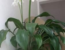Выращивание эухариса в домашних условиях